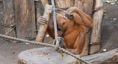 Diótörő orangutánok