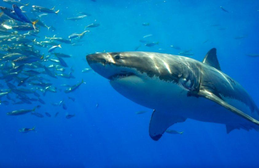 6000 éves cápatámadás a legújabb rekord