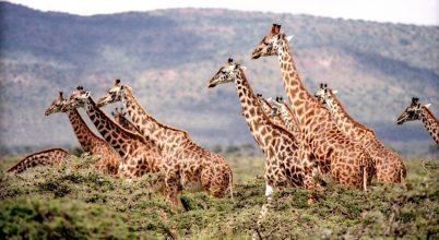 A zsiráfok ugyanolyan társas lények, mint az elefántok