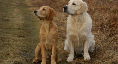 Hogyan is alakult ki a kutyák bundáinak a színe?