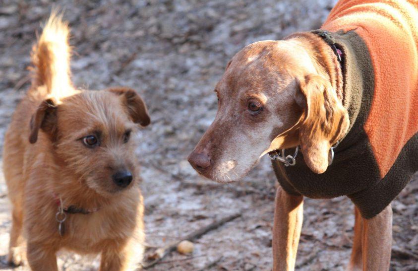 Így segíthetnek kutyák az emberi demencia kutatásában