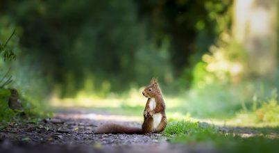 Elképesztő ugrásokra képesek a mókusok egyetlen mogyoróért