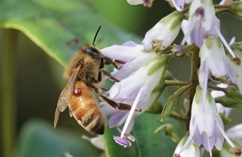 Ígéretes kutatási eredmények a méhatka ellen