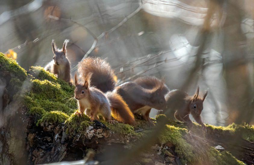 A skót hegyi erdőségek a vörös mókus menedékei