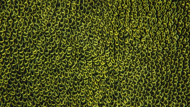 A nap képe: Algalap mikroszkóp alatt