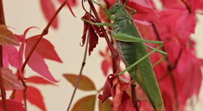 Zöld lombszöcske (nőstény)