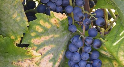 Érik a szőlő…