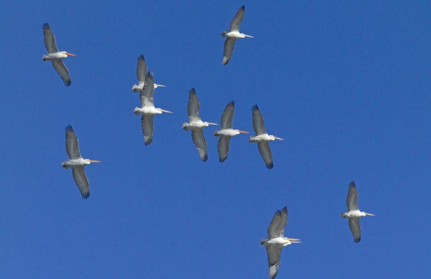 Csoportosan együttműködő állatok taníthatják a jövő vitorlázó drónjait