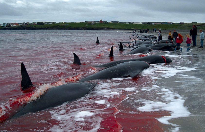 Változás jöhet a feröeri bálnavadászatokban