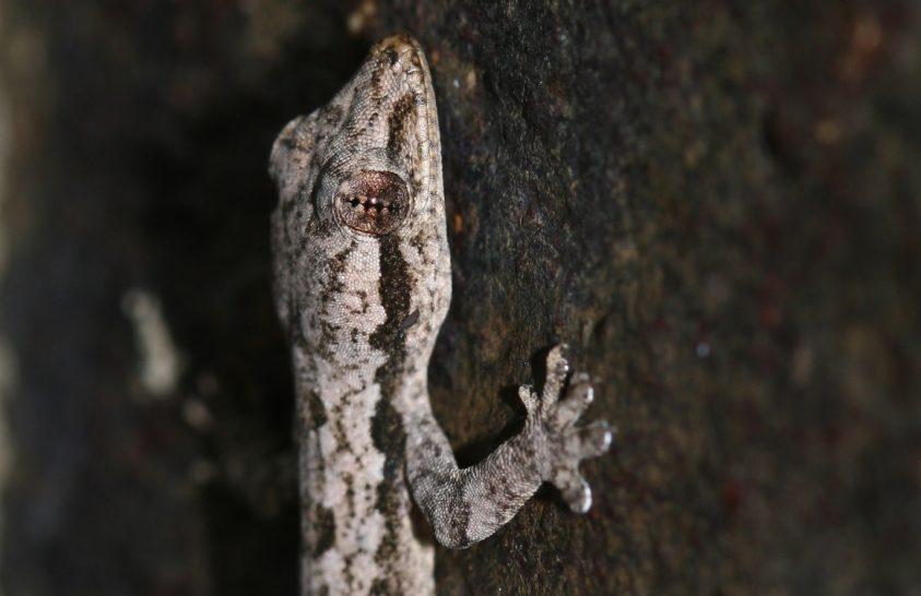 A gekkók farka sokszínű feladatokat lát el