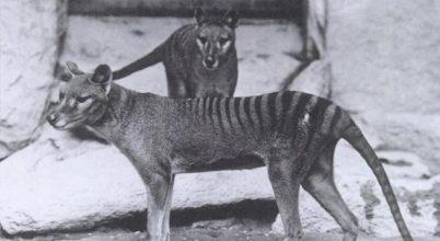 Színes filmen elevenedik meg a kihalt erszényesfarkas