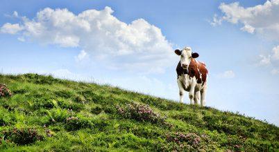 Szobatiszta tehenekkel a kisebb környezetszennyezésért