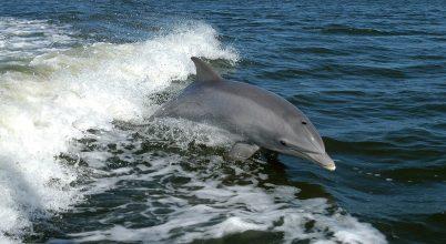 Fütyült nyelvek segíthetnek a delfinek kommunikációjának megértésében