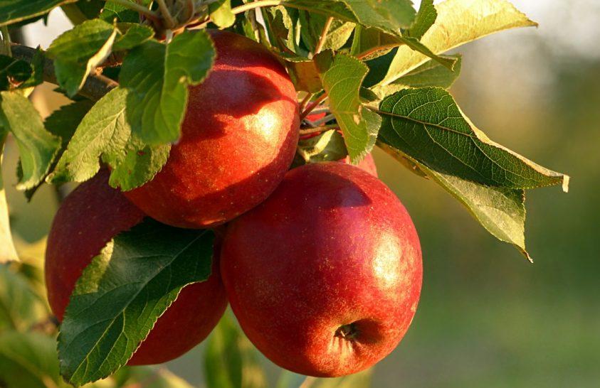 Előnyösebb tápanyag-összetételű almafajták