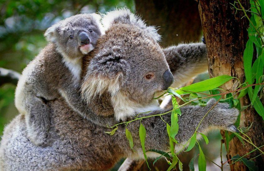 Veszélyes vírus tizedeli a koalákat