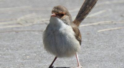 Egyes madarak már a tojásban éneket tanulnak