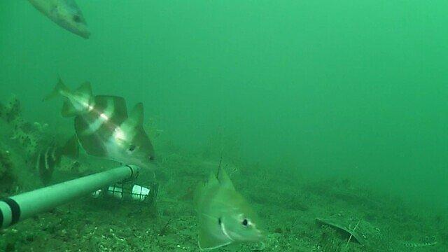 A tengeri természetvédelmi területeken négyszeresére növekedhet a halállomány