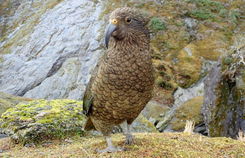 Szerszámhasználóvá vált egy sérült kea