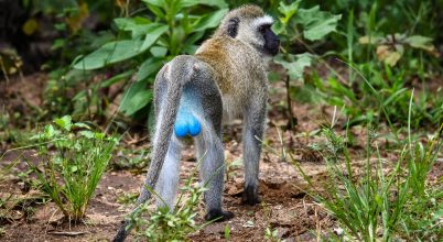 Vervet majom