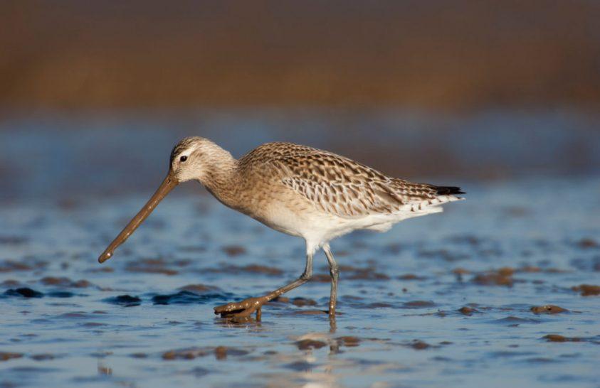 Növekvő veszélyek fenyegetik a vándormadarakat