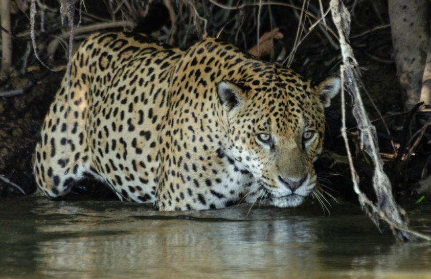 A Pantanal halászó jaguárjai