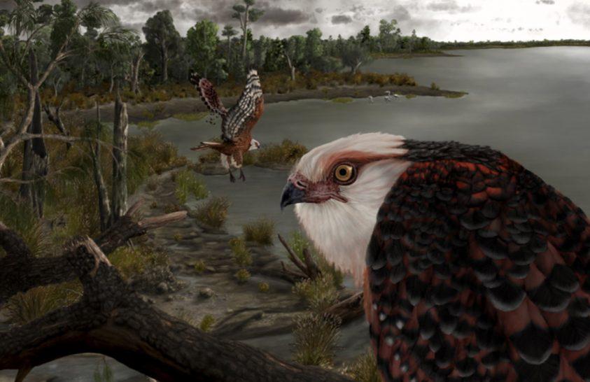 Óriás sas élt Ausztráliában 25 millió éve