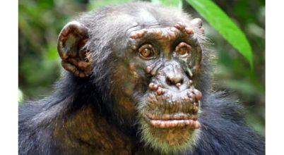 Lepra vadon élő csimpánzokon