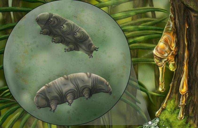 16 millió éves medveállatka borostyánba zárva